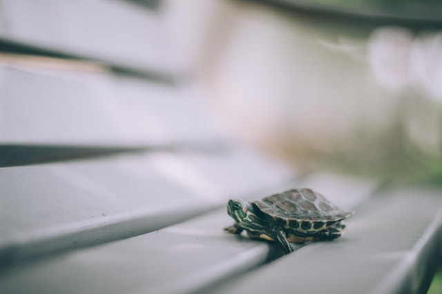 baby turtle making tiny steps
